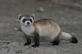 اسود القدمين - حيوانات نادرة هذه هي أندر الحيوانات في العالم
