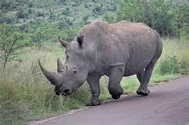 African Rhino - حيوانات خطيرة أكثر 10 حيوانات خطورة في أفريقيا