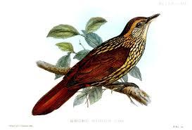 Alagoas foliage gleaner Philydor novaesi - حيوانات منقرضة: الأنواع التي فقدناها في 2019