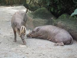 Babirusa - حيوانات عجيبة أفضل 10 حيوانات فريدة ومميزة من نوعها