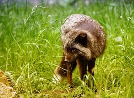 Darwin's Fox - حيوانات نادرة هذه هي أندر الحيوانات في العالم