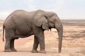 Elephant - حيوانات خطيرة أكثر 10 حيوانات خطورة في أفريقيا