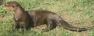 Giant Otter 300x118 - حيوانات نادرة هذه هي أندر الحيوانات في العالم
