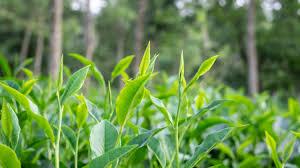 Green Tea - أفضل طريقة لتخفيف الوزن (مدعومة بالعلوم)