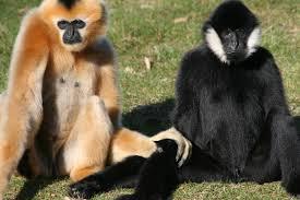 Hainan Gibbon - حيوانات نادرة هذه هي أندر الحيوانات في العالم