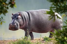 Hippopotamus - حيوانات خطيرة أكثر 10 حيوانات خطورة في أفريقيا