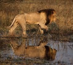 Lion1 - حيوانات خطيرة أكثر 10 حيوانات خطورة في أفريقيا