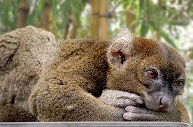 Madagascar's Greater Bamboo Lemur - حيوانات نادرة هذه هي أندر الحيوانات في العالم