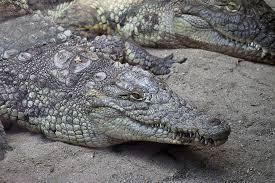 Nile Crocodile - حيوانات خطيرة أكثر 10 حيوانات خطورة في أفريقيا