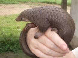 Pangolin1 - حيوانات نادرة هذه هي أندر الحيوانات في العالم