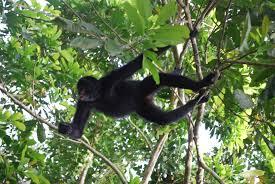 Peruvian Spider Monkey - حيوانات نادرة هذه هي أندر الحيوانات في العالم