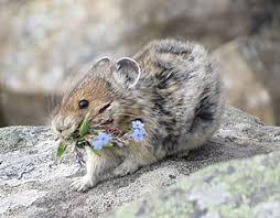 Pika - حيوانات نادرة هذه هي أندر الحيوانات في العالم