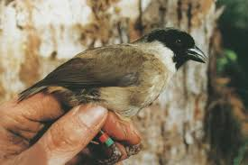 Poo uli - حيوانات منقرضة: الأنواع التي فقدناها في 2019