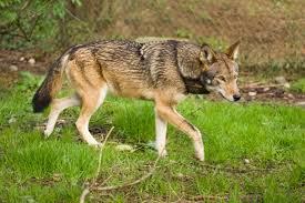 Red Wolves - حيوانات نادرة هذه هي أندر الحيوانات في العالم