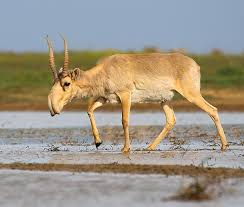 Saiga Antelope - حيوانات عجيبة أفضل 10 حيوانات فريدة ومميزة من نوعها