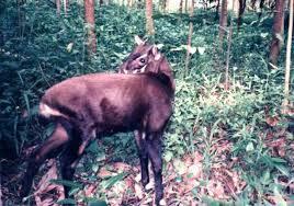 Saola - حيوانات نادرة هذه هي أندر الحيوانات في العالم