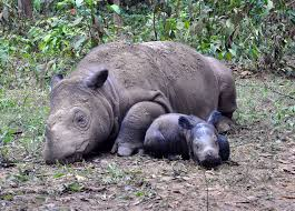 Sumatran rhinoceros - حيوانات منقرضة: الأنواع التي فقدناها في 2019