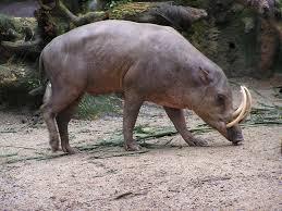 The Babirusa - حيوانات نادرة أفضل 10 حيوانات فريدة ونادرة في العالم