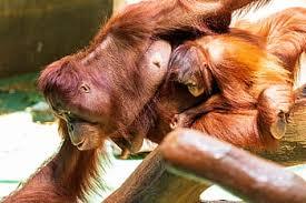 The Bornean Orangutan - حيوانات نادرة هذه هي أندر الحيوانات في العالم