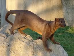 The Fossa - حيوانات نادرة أفضل 10 حيوانات فريدة ونادرة في العالم