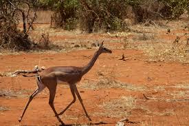 The Gerenuk - حيوانات نادرة أفضل 10 حيوانات فريدة ونادرة في العالم