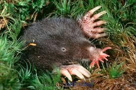 The Star nosed Mole - حيوانات نادرة أفضل 10 حيوانات فريدة ونادرة في العالم