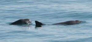 Vaquita 300x139 - حيوانات نادرة هذه هي أندر الحيوانات في العالم