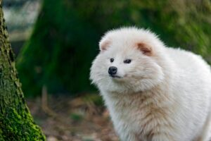 كلب الراكون الأبيض