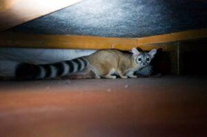 القط ذو الذيل المخطط الدائري