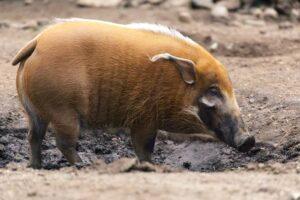 الخنزير الاحمر