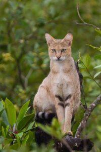 قط الغابة الأفريقية