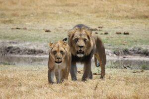 WhatsApp Image 2020 06 28 at 2.00.51 AM 300x200 - لماذا الأسود ملوك الغابة ؟ أسد الغابة