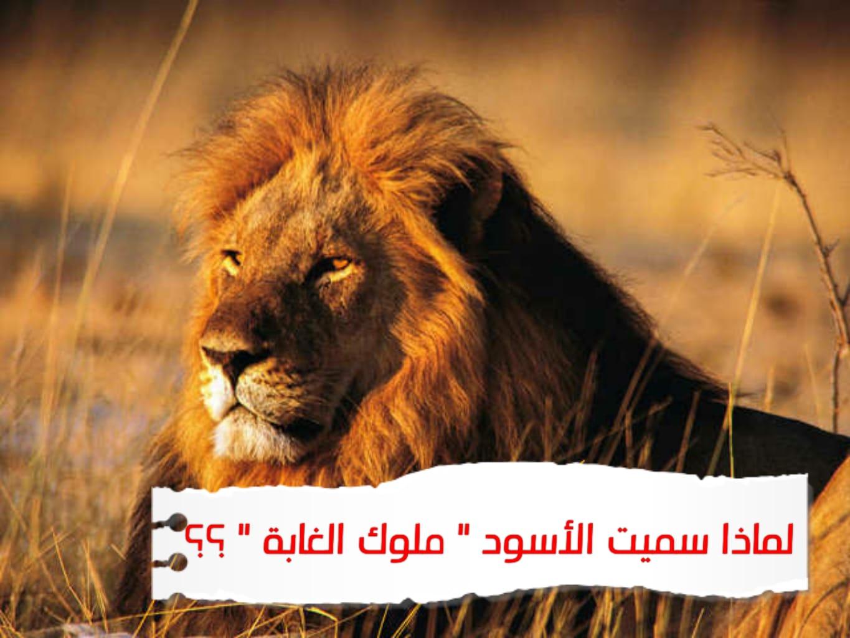 WhatsApp Image 2020 06 28 at 2.00.52 AM 2 - لماذا الأسود ملوك الغابة ؟ أسد الغابة