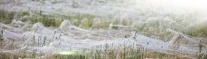 WhatsApp Image 2020 06 28 at 6.00.23 PM 3 300x86 - العنكبوت المهاجر - موسم العنكبوت في أستراليا