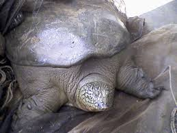 Yangtze giant softshell turtle Rafetus swinhoei - حيوانات منقرضة: الأنواع التي فقدناها في 2019