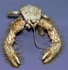 Yeti Crab - حيوانات نادرة أفضل 10 حيوانات فريدة ونادرة في العالم