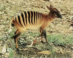 Zebra Duiker - حيوانات نادرة أفضل 10 حيوانات فريدة ونادرة في العالم