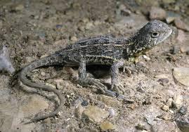 earless dragon - حيوانات منقرضة: الأنواع التي فقدناها في 2019
