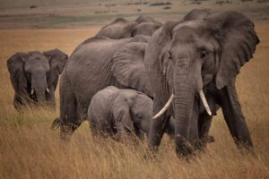 الفيل أكثر الحيوانات فتكًا في العالم