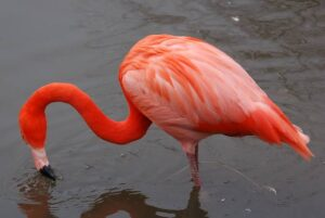الطائر الوردي النادر