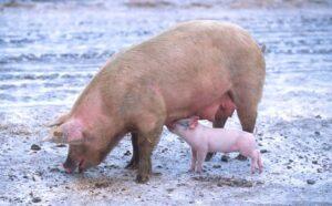 الخنازير الزهرية
