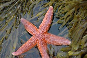 نجم البحر الوردي