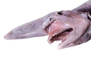 القرش المرعب