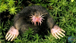 فأر الخلد ذو الأنف النجمي