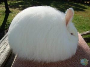 أرنب نادر