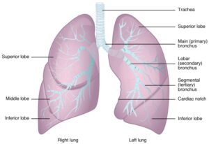 رئة صحية