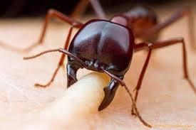 يعتبر النمل الناري من أخطر الحشرات في العالم