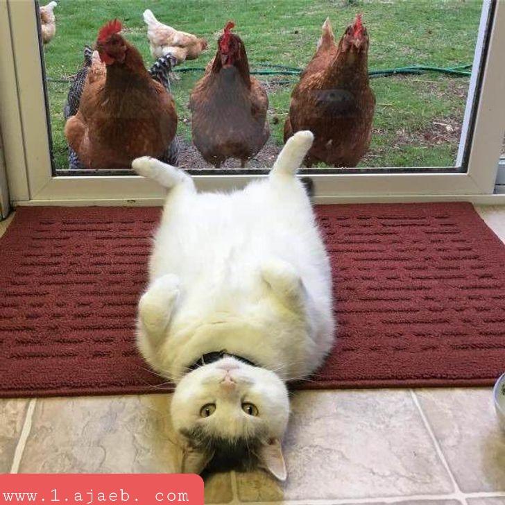 """""""لقد دخلت للتو على قطة تتظاهر بفظاظة أمام دجاجات الجيران."""""""