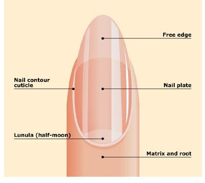 nail 02 - ما الذي يسبب قصر الأظافر وكيفية تطويلها