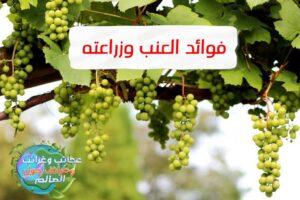WhatsApp Image 2021 08 02 at 9.56.31 PM 3 300x200 - فوائد العنب وطرق زراعته